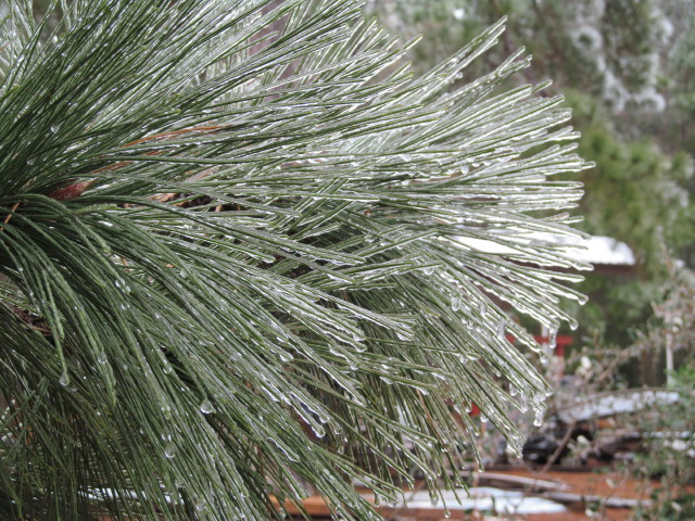 Frozen pine tree detail