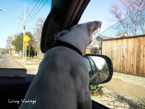Kacy on her way to the dog park - Living Vintage