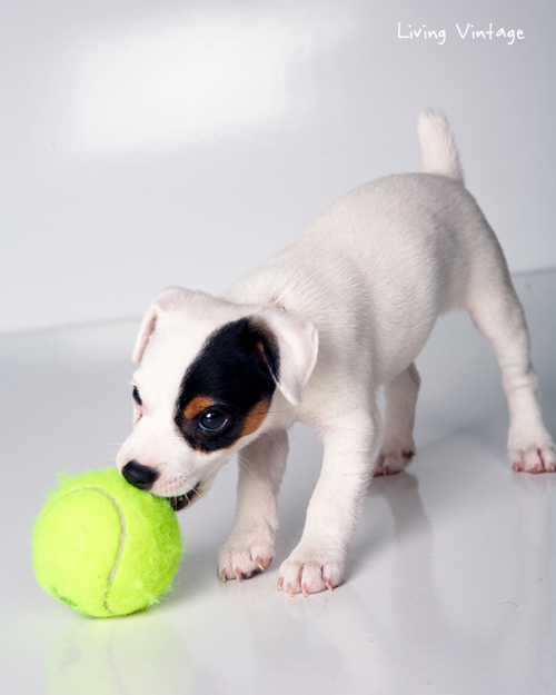 Our Jack Russell, Kacy, at 2 months - Living Vintage