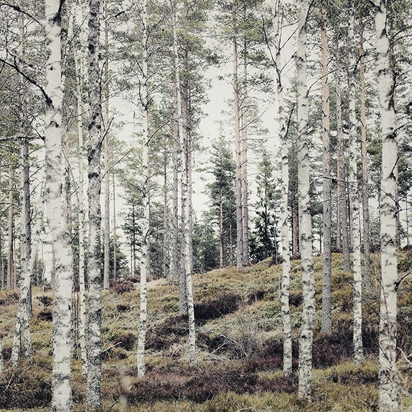 beautiful birch trees - one of 8 picks for this week's Friday Favorites - Living Vintage