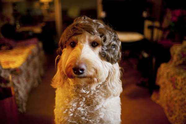 a dog in a wig