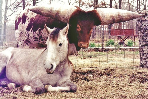 Unlikely friends - a crippled horse and her bull protector