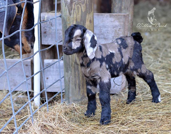 what an adorable baby goat!  | one of 8 picks for this week's Friday Favorites