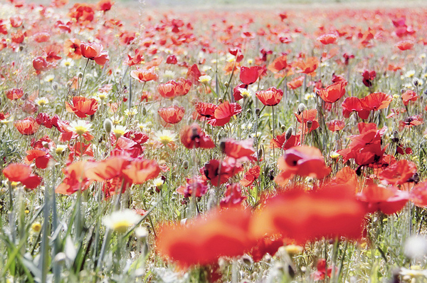 such a pretty field of poppies - one of 8 picks for this week's Friday Favorites