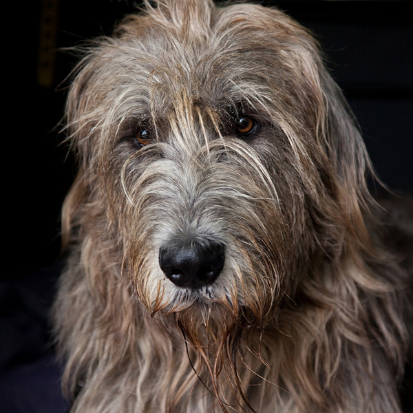 a gentle Irish wolfhound - one of 8 picks for this week's Friday Favorites