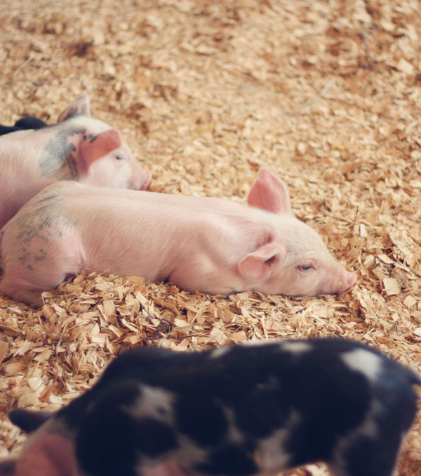 adorable piglets -- one of 8 picks for this week's Friday Favorites