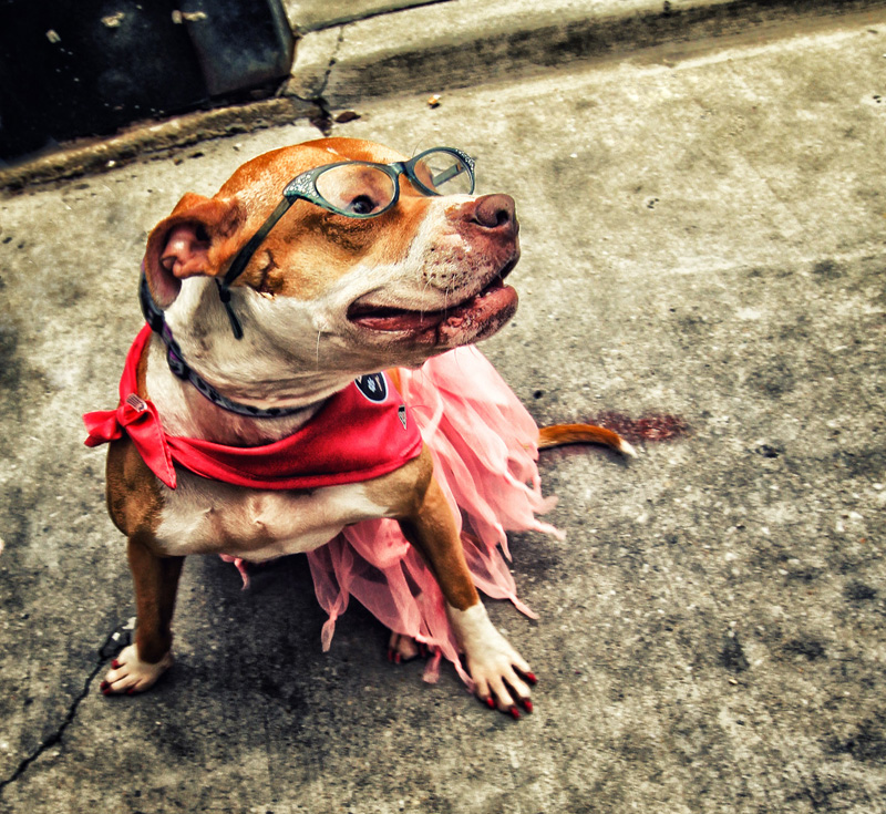 a dog named Strawberry all dressed up for a Honfest celebration - see more CUTE dogs in costumes at Living Vintage