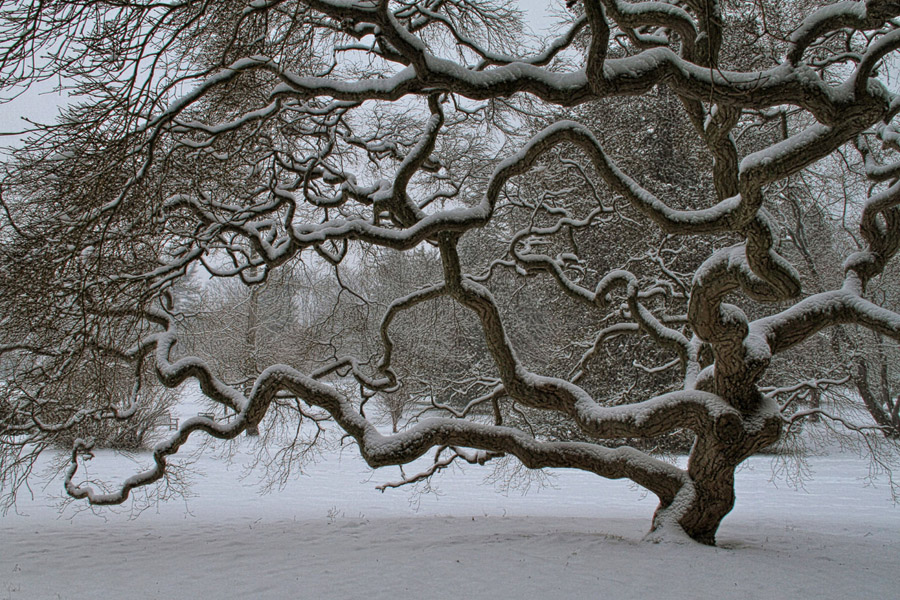 a gorgeous image of a japenese maple tree, decorated with snow -- one of 8 picks for this week's Friday Favorites