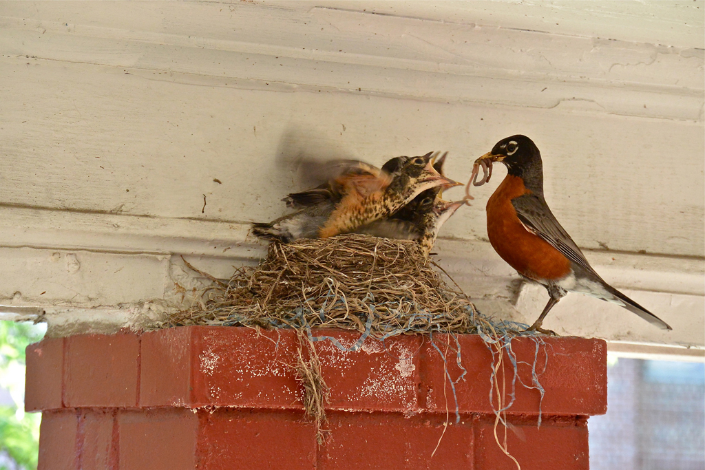 a precious image of a robin feeding her hungry babies - one of 8 picks for this week's Friday Favorites