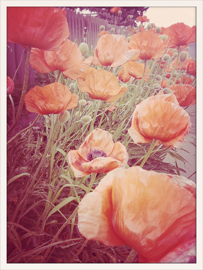 beautiful poppies (one of my favorite flowers) - they look like they're made out of tissue paper! - one of 8 picks for this week's Friday Favorites