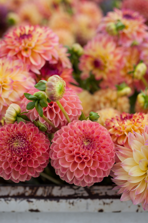 gorgeous, vibrant pink dahlias - one of 8 picks for this week's Friday Favorites