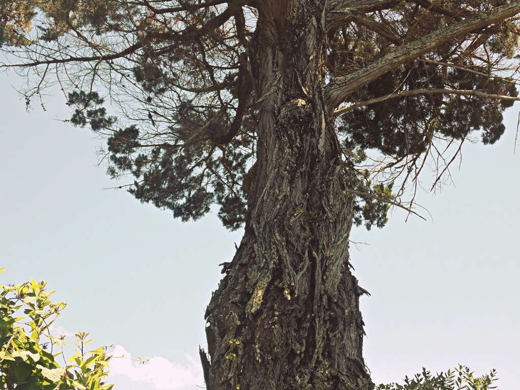 an old cedar tree, gnarled and beautiful - 1 of 8 picks for this week's Friday Favorites