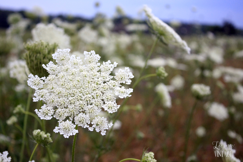 pretty wildflowers -- wild yarrow I think?