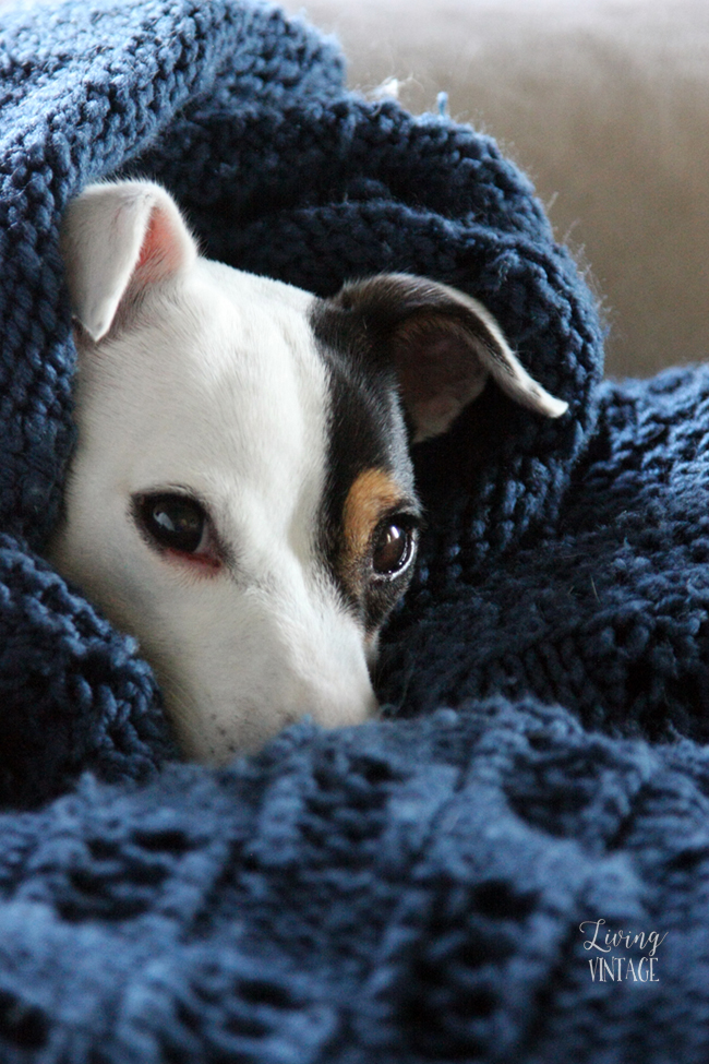 Kacy, the little Jack Russell who loves to burrow