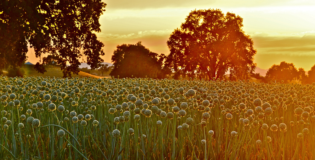 onions pay homage to the setting sun - 1 of 8 picks for this week's Friday Favorites