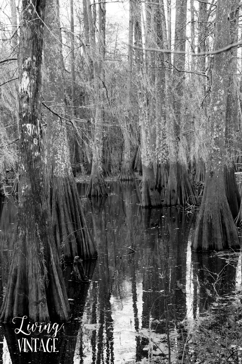 swampy land and cypress trees (a common sight in LA and MS)