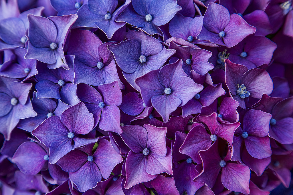 beautiful purple hydrangeas