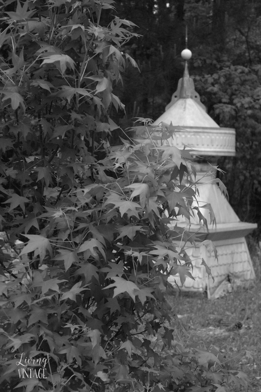 a neat old cupola hiding behind a baby sweetgum tree